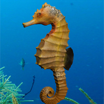 Seahorse Pack Animals Software Stand Alone Figures Bijan_Studio