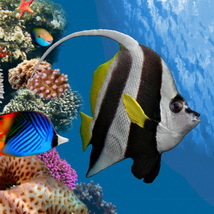 Pennant Coral Fish Animals Bijan_Studio