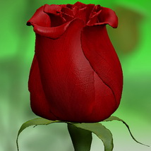 Red Rose 3D Models Bijan_Studio