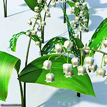 Flinks Flowers - Lily of the valley image 7