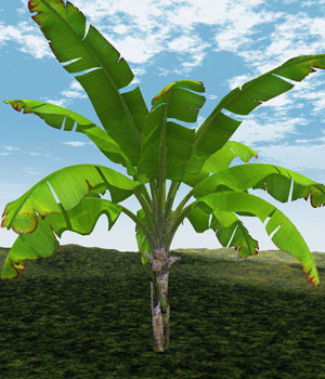 Banana Tree 3D Models Bijan_Studio