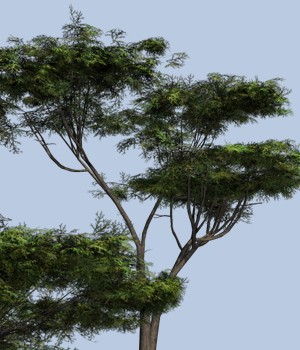 Umbrella Acacia DR 3D Models Dinoraul
