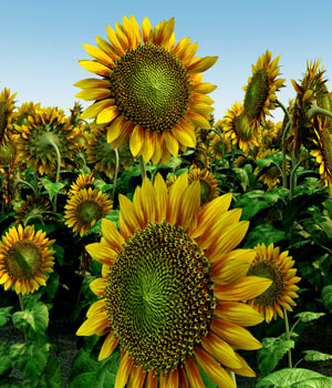 Sunflower 3D Models Bijan_Studio