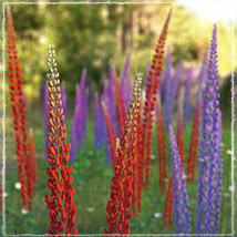 Photo Plants: Lupinus Flowers - Extended License image 1