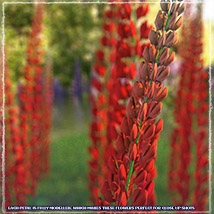 Photo Plants: Lupinus Flowers - Extended License image 7
