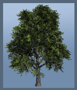 Holm Oak DR - Extended License 3D Models Extended Licenses Dinoraul