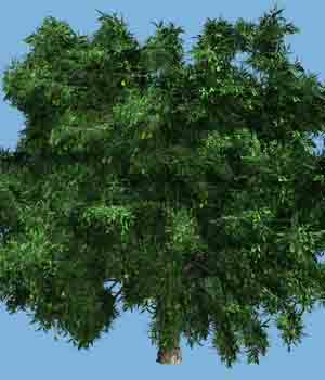 Mango Tree DR - Extended License 3D Models Gaming Extended Licenses Dinoraul