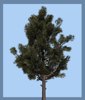 Pinus eldarica DR - Extended License 3D Models Gaming Extended Licenses Dinoraul