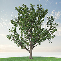 Trees Rubber Fig image 3