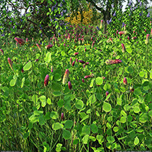 Flinks Flowers - Flower 1 - Red Feather Clover image 5