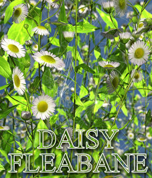 Flinks Flowers - Flower 3 - Daisy Fleabane by Flink