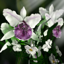 Orchid Cattleya image 1