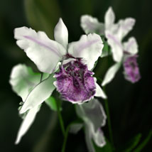 Orchid Cattleya image 3