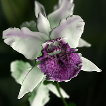Orchid Cattleya image 5