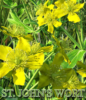Flinks Flowers - Flower 5 - St Johns Wort
