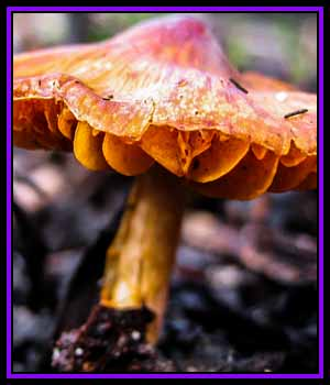 CPS-FabulousFungi01 2D Graphics CreekyPointStudios
