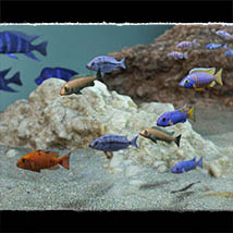 3D Underwater Fauna: African Cichlids - Extended License image 3