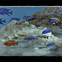 3D Underwater Fauna: African Cichlids - Extended License image 4