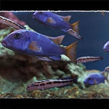 3D Underwater Fauna: African Cichlids - Extended License image 5