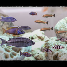 3D Underwater Fauna: African Cichlids - Extended License image 6