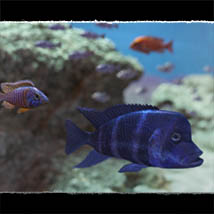 3D Underwater Fauna: African Cichlids - Extended License image 7