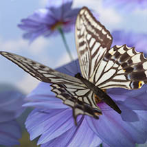 3D Insect Fauna: Flutter of Butterflies - Extended License image 11