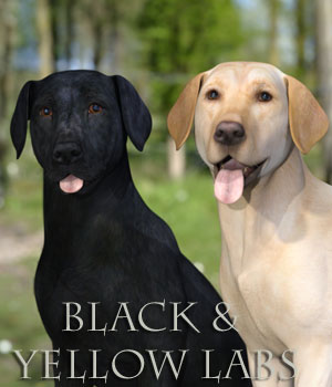 Black and Yellow Labs for the HiveWire Big Dog 3D Figure Assets 3D Models Sparky3D