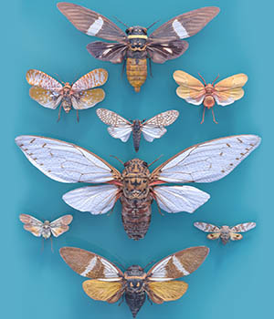 Cicada Collection 3D Models PolygonalMiniatures