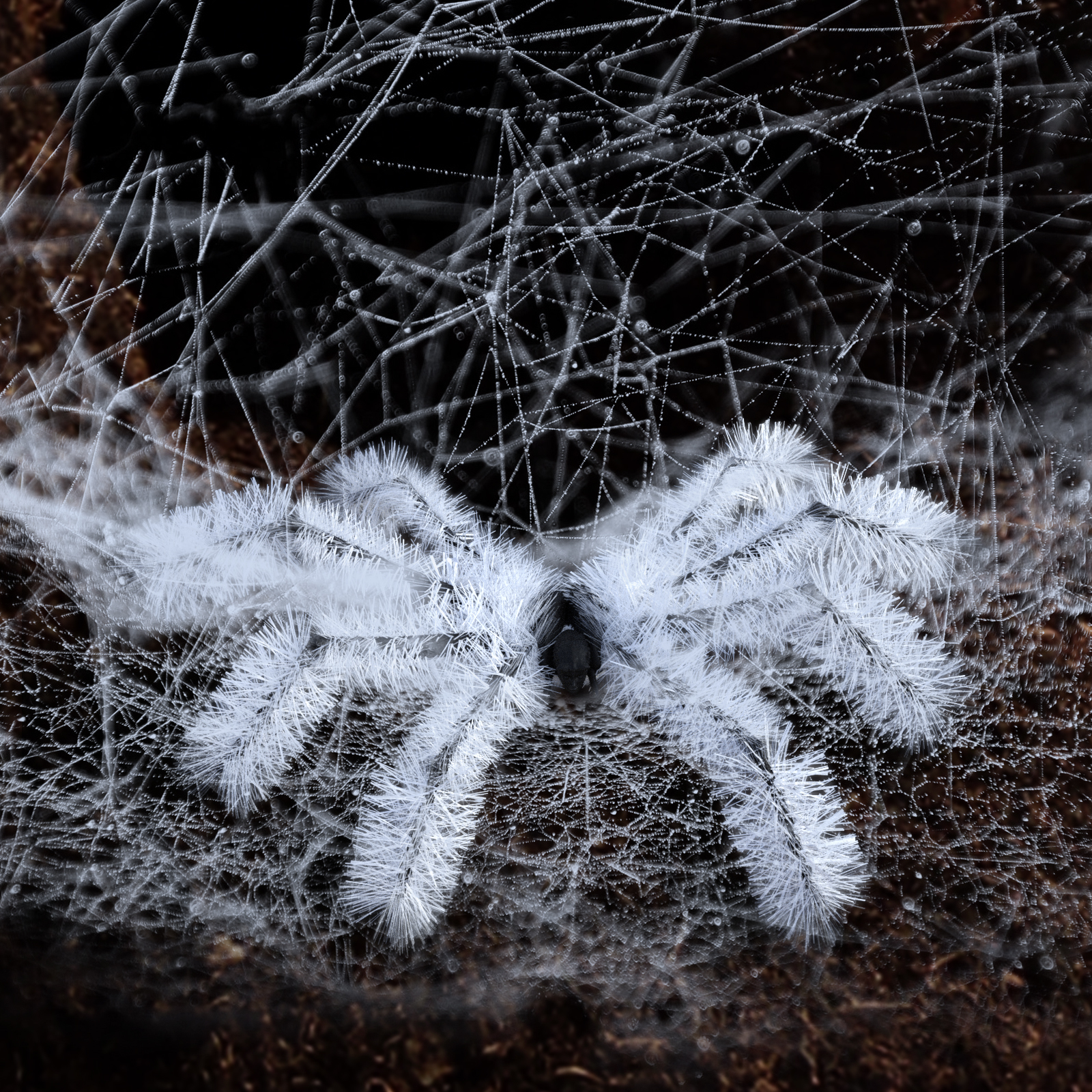 Spider Bristles Addon for G8F by biala