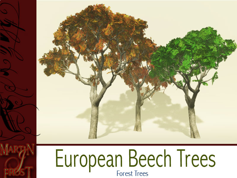 European Beech Trees