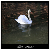 The swan  whitemagus