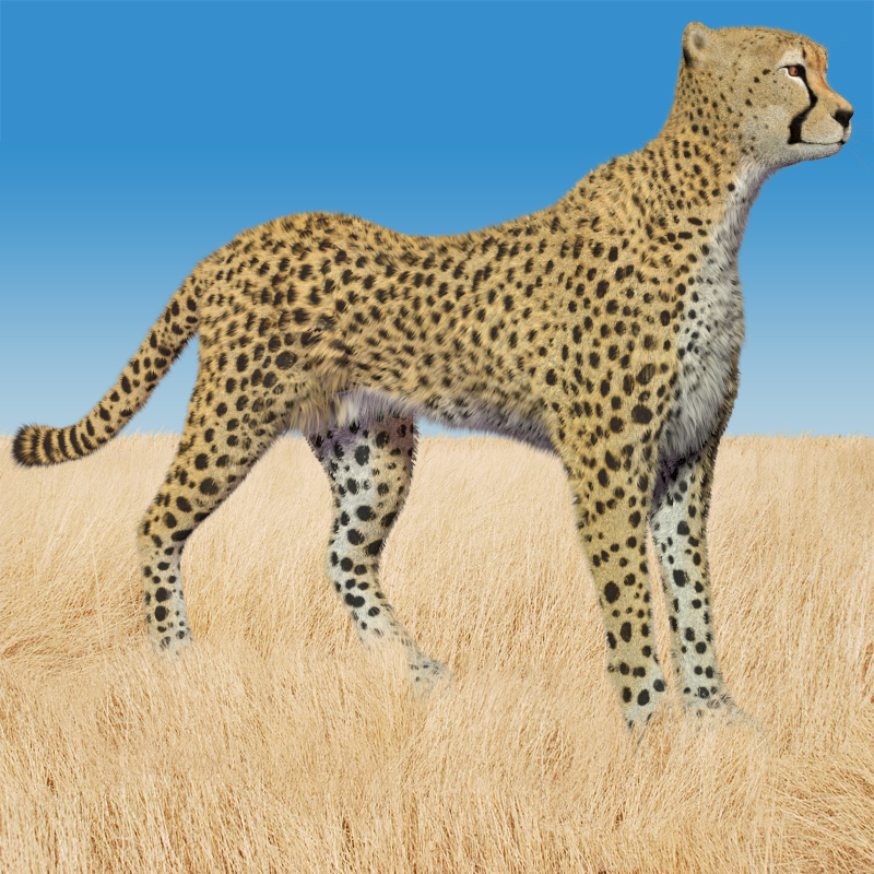 Cheetah by AM