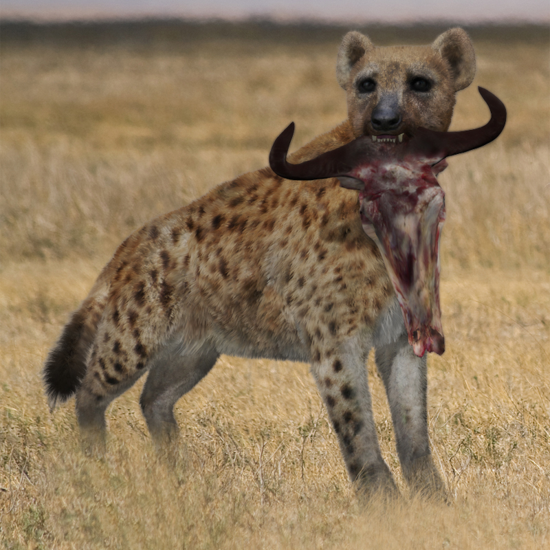 Spotted Hyena by AM (Crocuta Crocuta)