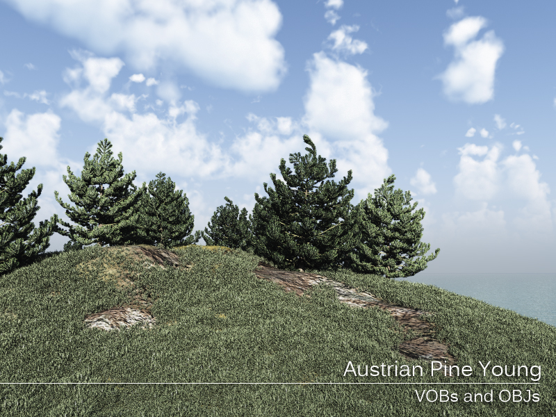 Austrian Pine Young