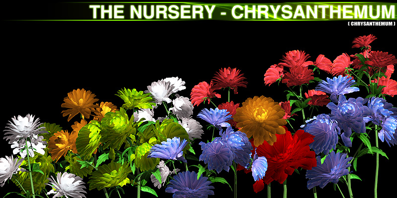 The Nursery - Chrysanthemum