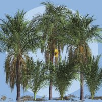 Queen Palm DR image 1