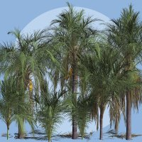 Queen Palm DR image 2